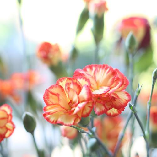 Nos fleurs - les oeillets