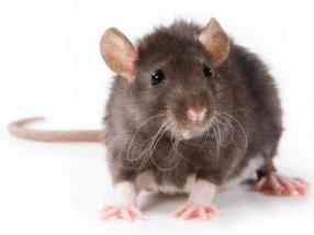 Pension pour rat